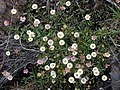 Starr-030419-0178-Erigeron karvinskianus-flowers-Polipoli-Maui (24335583610).jpg