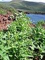 Starr-060406-7268-Chenopodium murale-habit-Puu Pehe-Lanai (24742939002).jpg