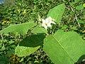 Starr-080601-8965-Solanum torvum-flowers and leaves-Community garden Sand Island-Midway Atoll (24616307610).jpg