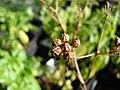 Starr-081031-0408-Coriandrum sativum-fruit-Makawao-Maui (24900408386).jpg
