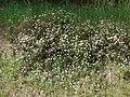 Starr-090513-7556-Erigeron karvinskianus-flowering habit-Polipoli-Maui (24861407101).jpg