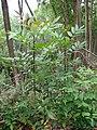 Starr-090521-8341-Fraxinus uhdei-saplings-Polipoli-Maui (24930034376).jpg