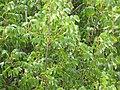Starr-090806-4051-Pterocarpus indicus-canopy-Kahului-Maui (24945510886).jpg