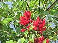 Starr-090813-4173-Erythrina crista galli-flowers and leaves-Kahului-Maui (24676540570).jpg