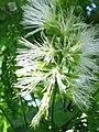 Starr-091104-0860-Pithecellobium alexandri-flowers-Kahanu Gardens NTBG Kaeleku Hana-Maui (24961416946).jpg