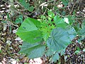 Starr-091104-9179-Hibiscus tiliaceus-seedling-Kahanu Gardens NTBG Kaeleku Hana-Maui (24361899813).jpg