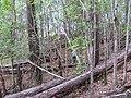 Starr-091115-1317-Fraxinus uhdei-fall foliage and Forest on trail-Olinda-Maui (24359618084).jpg