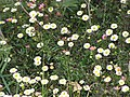 Starr-100401-4300-Erigeron karvinskianus-flowers-Polipoli-Maui (24934172721).jpg