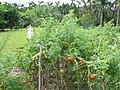 Starr-121108-1109-Solanum lycopersicum-fruiting habit-Pali o Waipio-Maui (24569946783).jpg