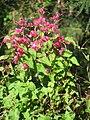 Starr-130116-1489-Antigonon leptopus-flowers-Waihee-Maui (25204758135).jpg