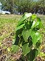 Starr-130617-4998-Thespesia populnea-sapling-Kealia Pond NWR-Maui (25117911431).jpg