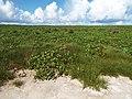 Starr-130911-0944-Cyperus laevigatus-habit edge of lake with pohuehue then emoloa inland-Lake-Laysan (24855470289).jpg