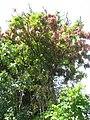 Starr-140909-4898-Mangifera indica-habit-Wailua-Maui (25127768822).jpg