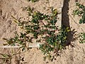 Starr-150325-0541-Melilotus indica-flowering habit-Residences Sand Island-Midway Atoll (24639172373).jpg