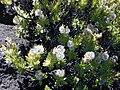 Starr 021024-0019 Dubautia menziesii.jpg