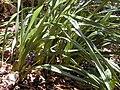 Starr 030418-0116 Dianella sandwicensis.jpg