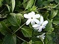 Starr 031108-0154 Jasminum multiflorum.jpg