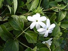 Jasminum wikipedia - Fiori da giardino estivi ...