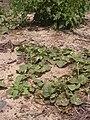 Starr 040403-0060 Solanum nelsonii.jpg