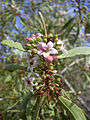 Starr 040513-0007 Myoporum sandwicense.jpg