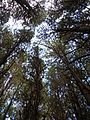 Starr 041113-0760 Pinus caribaea var. hondurensis.jpg