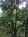 Starr 050107-2812 Syzygium malaccense.jpg