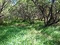 Starr 050108-3001 Prosopis pallida.jpg