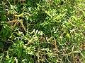 Starr 050419-0326 Tephrosia purpurea var. purpurea.jpg