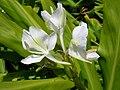 Starr 050817-3949 Hedychium coronarium.jpg