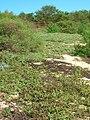Starr 060216-5990 Solanum nelsonii.jpg