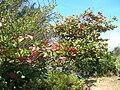 Starr 060704-8364 Terminalia catappa.jpg
