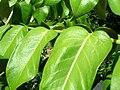 Starr 061108-9824 Munroidendron racemosum.jpg