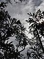Starr 070208-4344 Artemisia australis.jpg