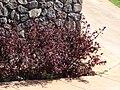 Starr 070221-4829 Hibiscus acetosella.jpg