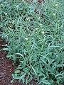 Starr 070313-5673 Brassica nigra.jpg