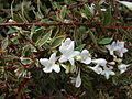 Starr 070906-8957 Abelia x grandiflora.jpg