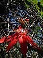 Starr 071024-9949 Passiflora vitifolia.jpg