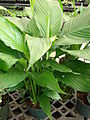 Starr 080117-1523 Spathiphyllum sp..jpg