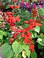 Starr 080117-2108 Salvia splendens.jpg