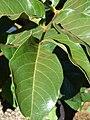 Starr 080301-3107 Tetraplasandra hawaiensis.jpg