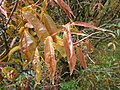 Starr 080326-3772 Syzygium jambos.jpg