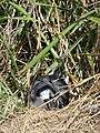Starr 080602-5553 Eragrostis variabilis.jpg