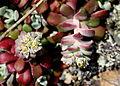 Stonecrop-sedum (Crassulaceae) (7084159093).jpg