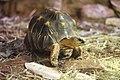 Strahlenschildkröte.jpg