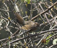 Striated Laughingthrush.jpg