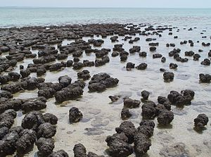 Microbial mat - Stromatolites are formed by some microbial mats as the microbes slowly move upwards to avoid being smothered by sediment.