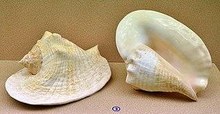 <i>Lobatus goliath</i> Species of gastropod