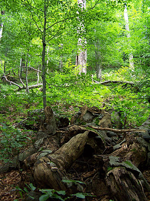 Primeval Beech Forests of the Carpathians and Other Regions of Europe - Image: Stužica