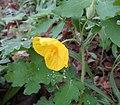 Stylophorum diphyllum Kentucky.jpg