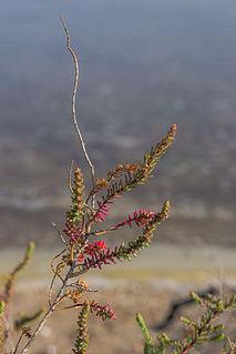 <i>Suaeda vera</i> species of plant